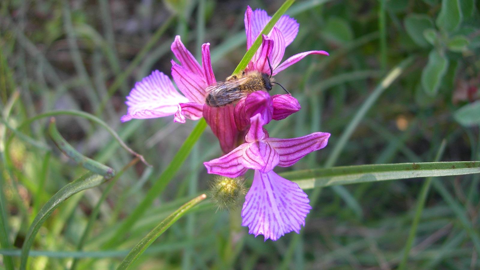 Orchis papilionaceae