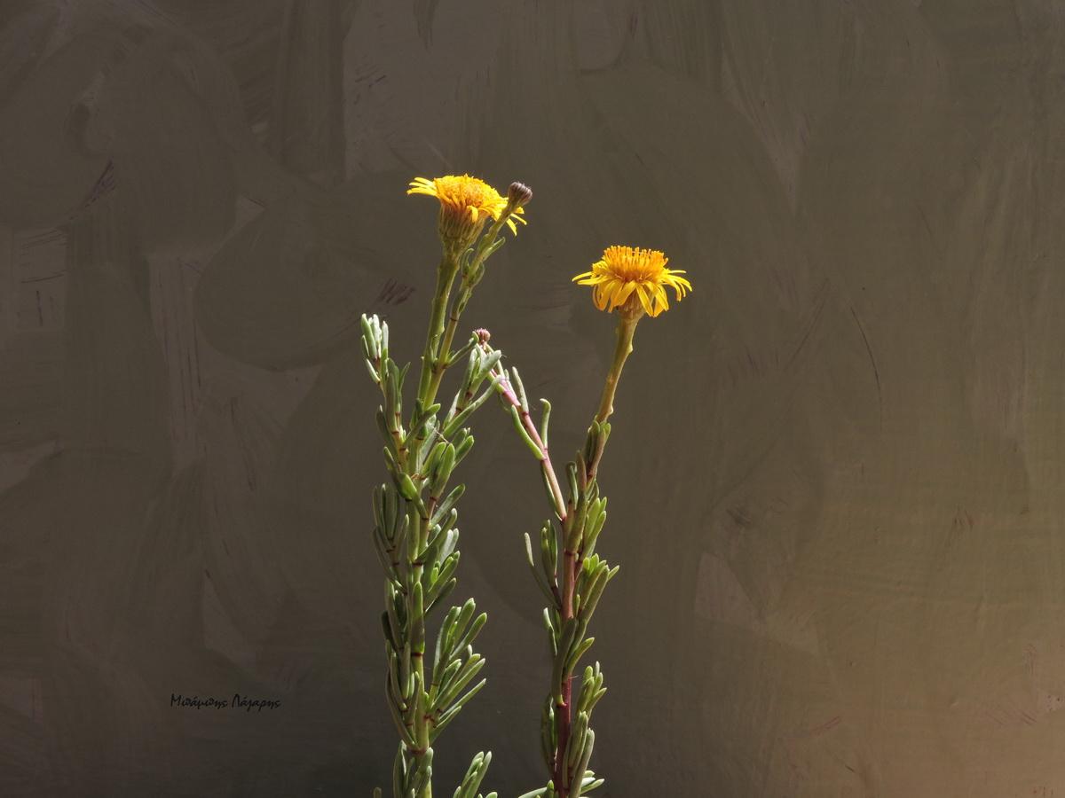 1_Limbarda crithmoides