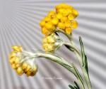 3_Helichrysum stoechas