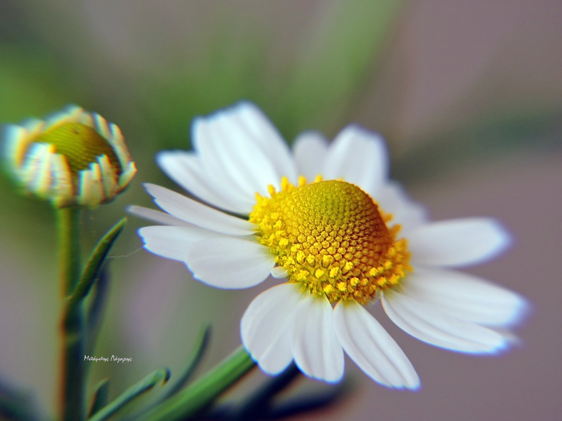 5_Matricaria chamomilla