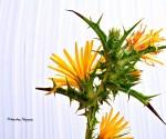 2_Scolymus hispanicus