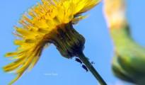 4_Sonchus oleraceus