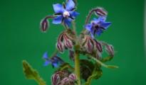2_Borago officinalis