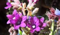 4_Anchusa undulata