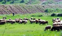 προβατα 2