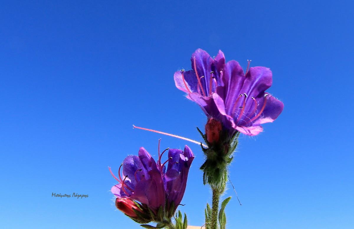 4_Echium plantagineum