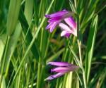 1_Gladiolus italicus