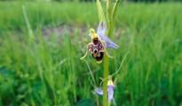 4_Ophrys oestrifera
