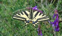 1_Papilio machaon