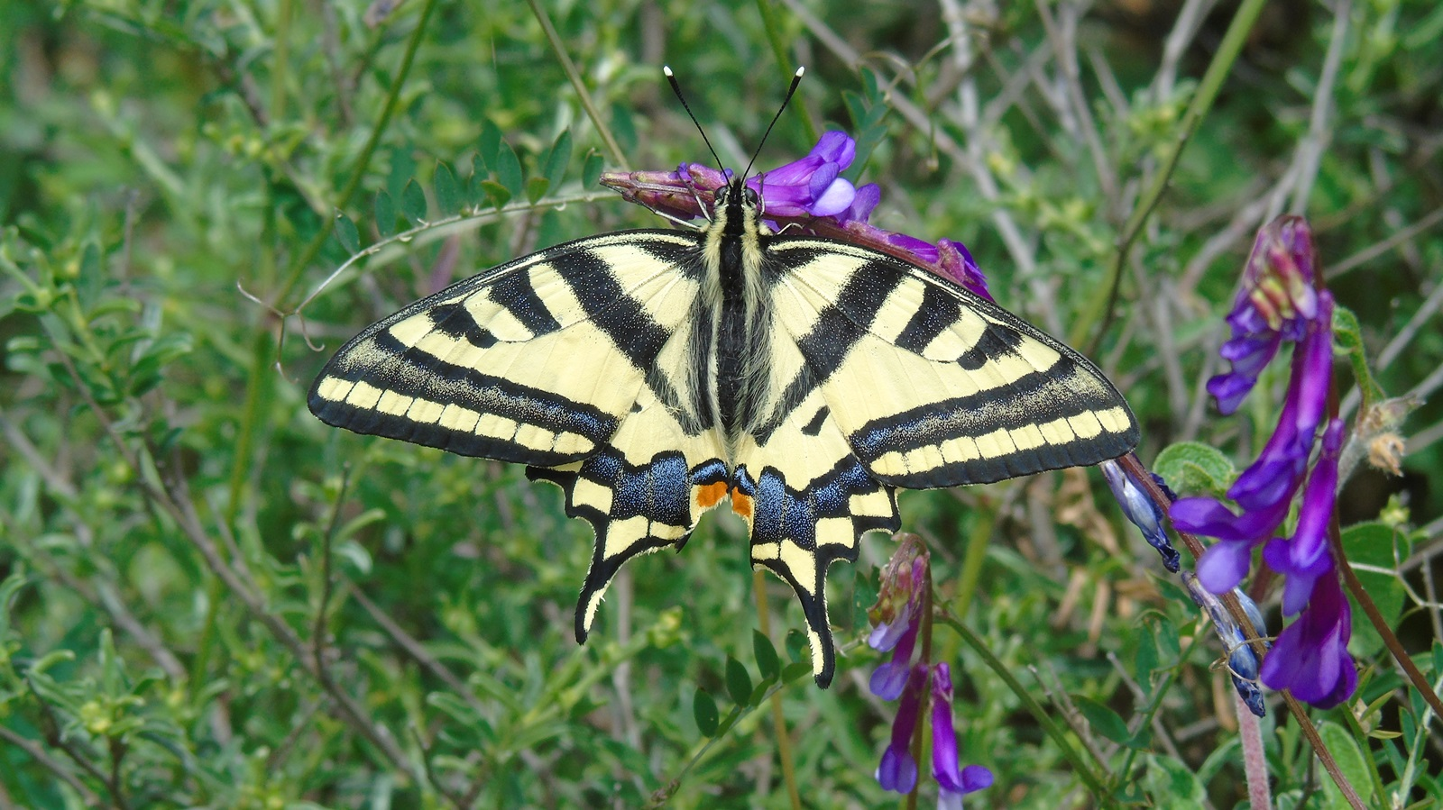 1_Papilio machaon