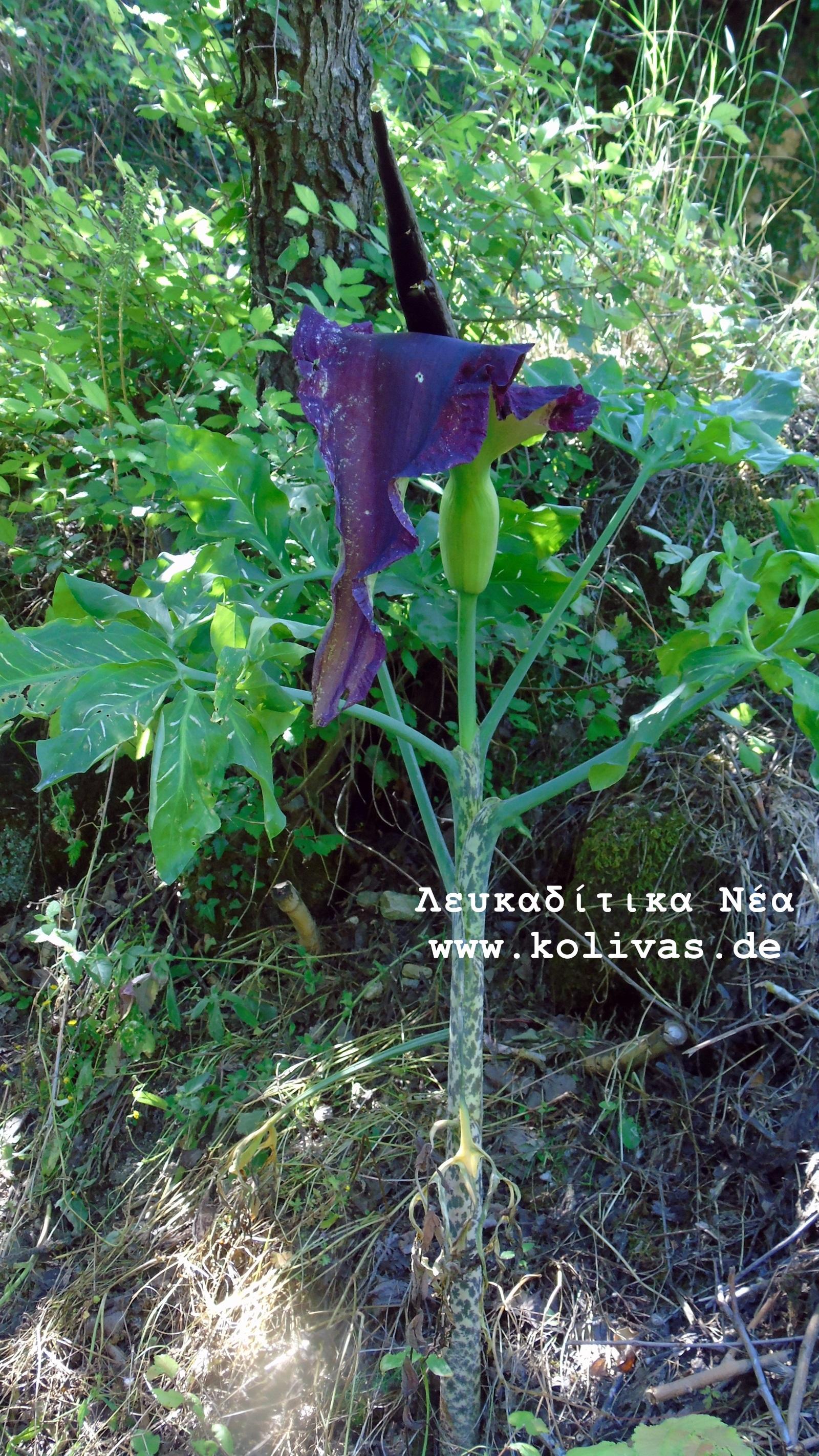 12_Dracunculus vulgaris