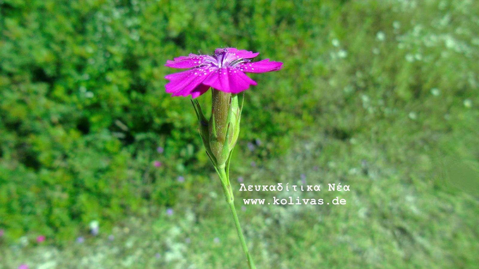 1_Dianthus deltoides
