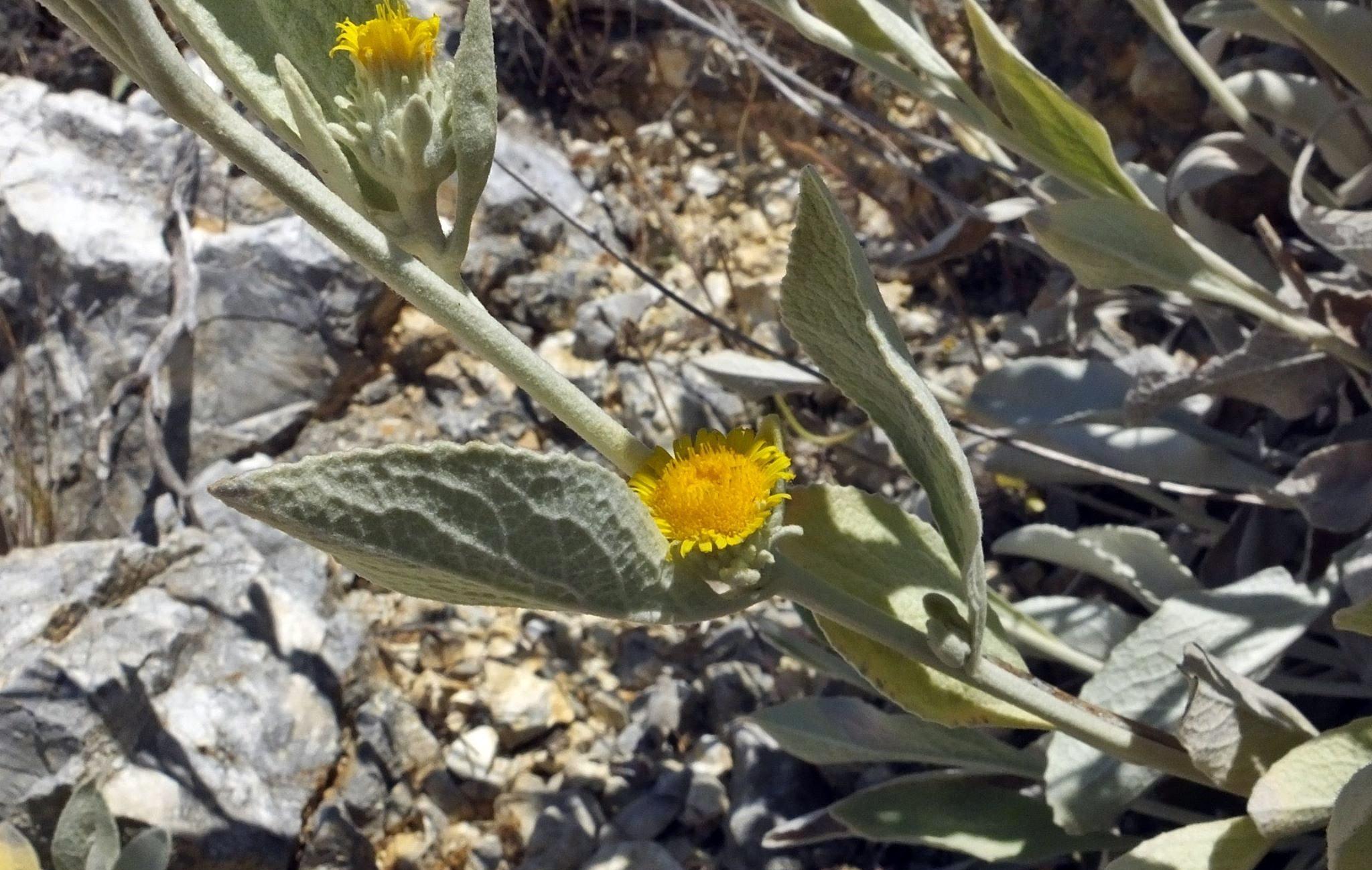 1_Inula verbascifolia