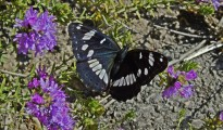 1_Limenitis reducta
