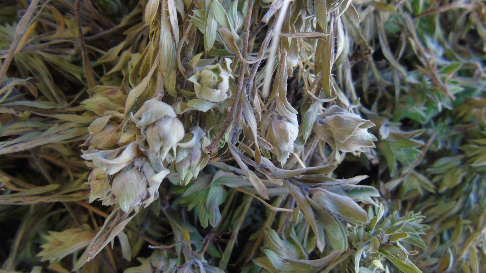 1_Thymus holosericeus