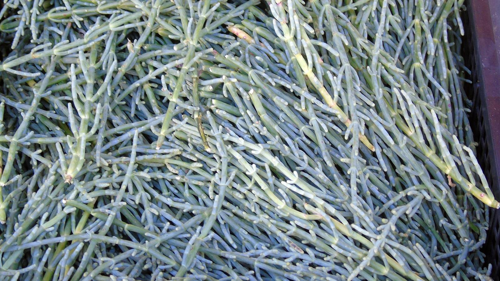 1b_Salicornia