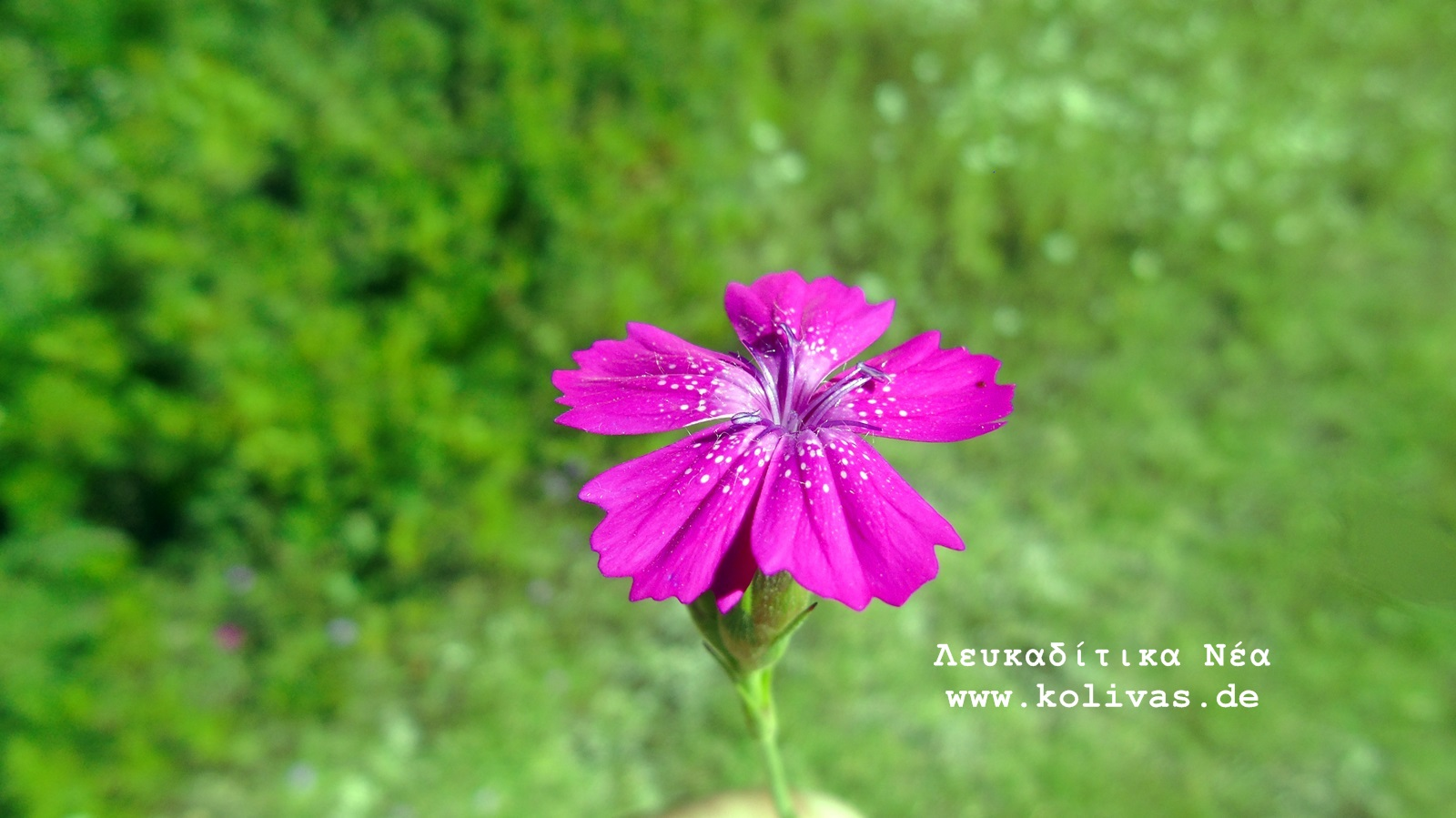2_Dianthus deltoides