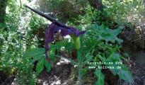 2_Dracunculus vulgaris