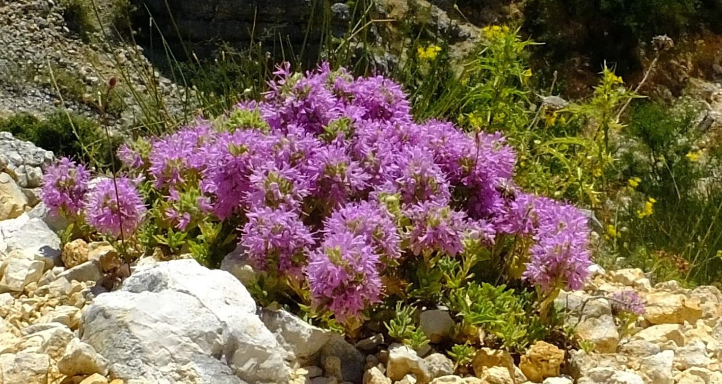 2_Thymus holosericeus