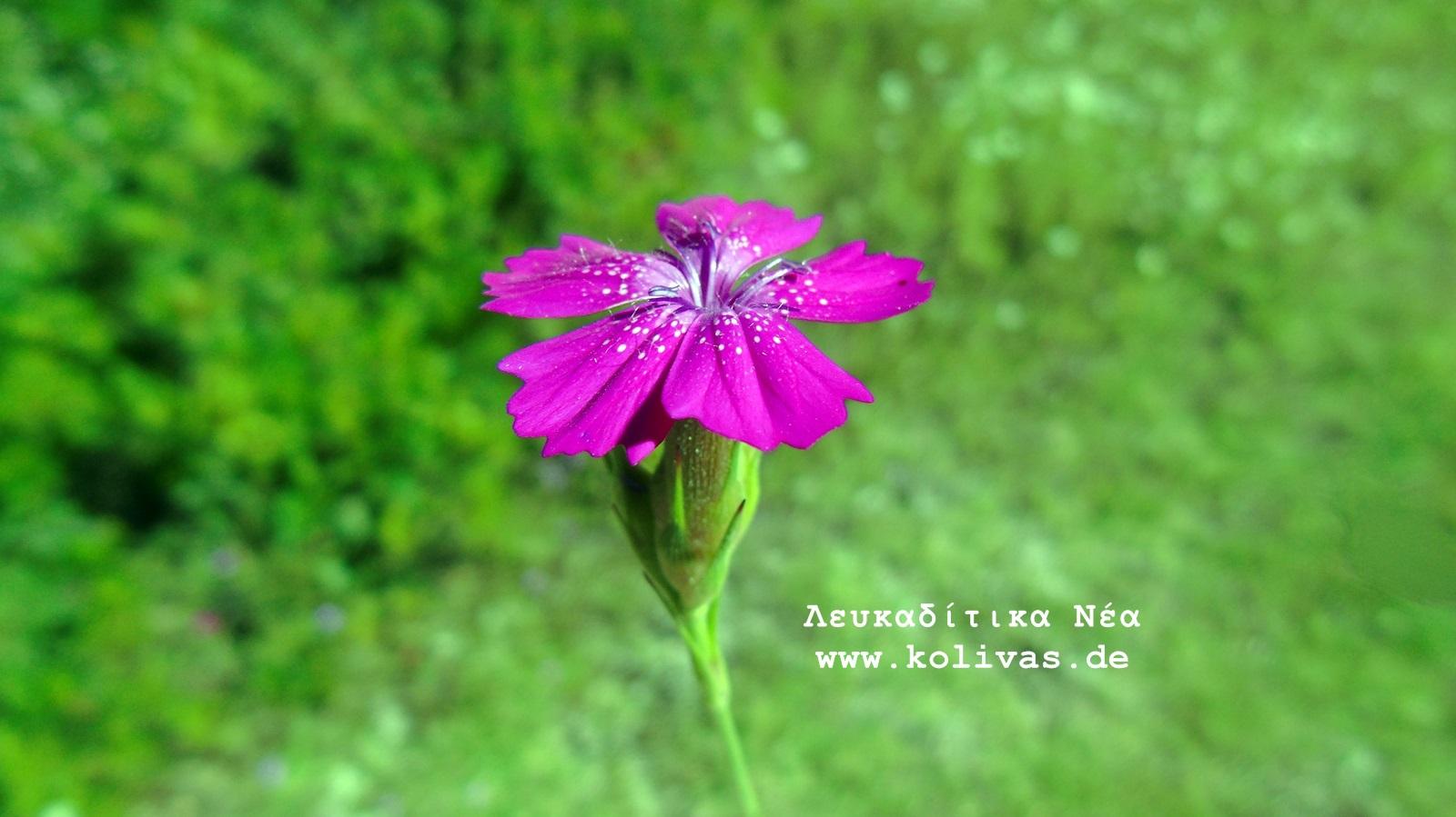3_Dianthus deltoides
