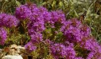 3_Thymus holosericeus