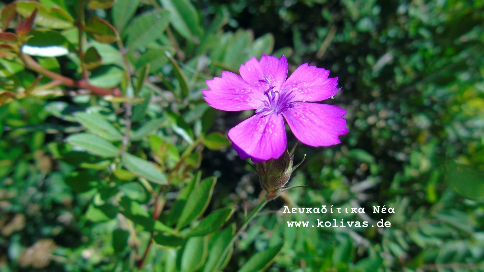 4_Dianthus deltoides