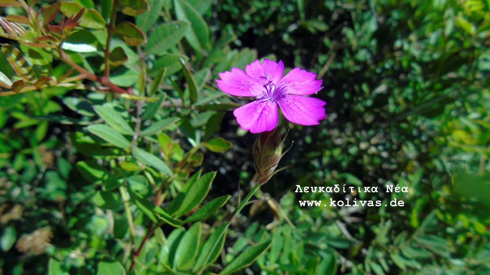 5_Dianthus deltoides