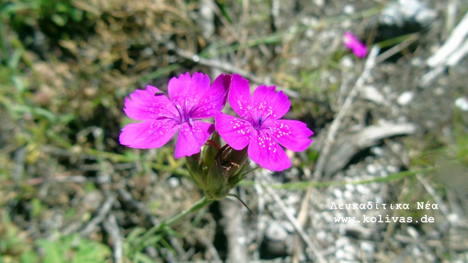 6_Dianthus deltoides