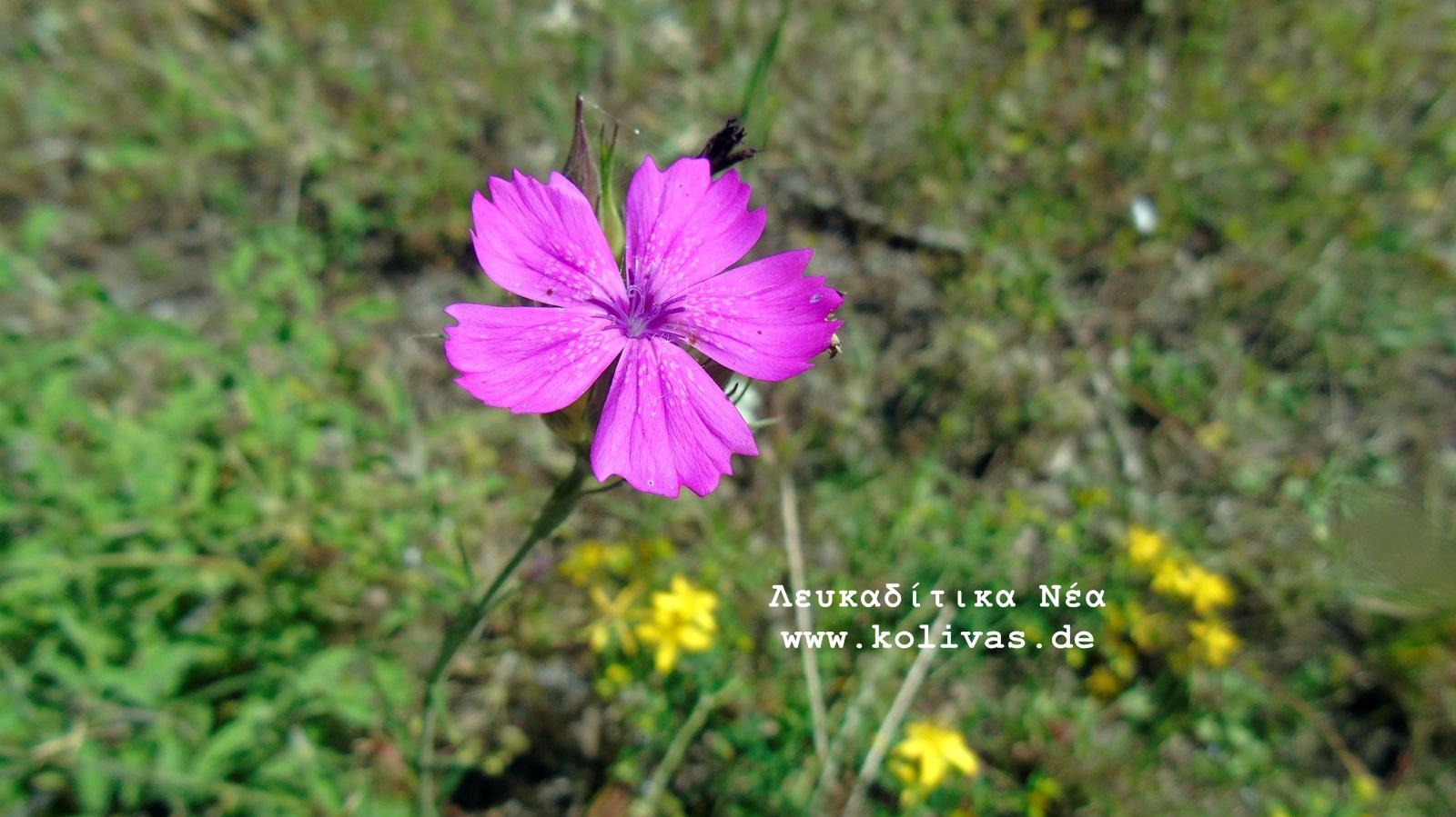 7_Dianthus deltoides