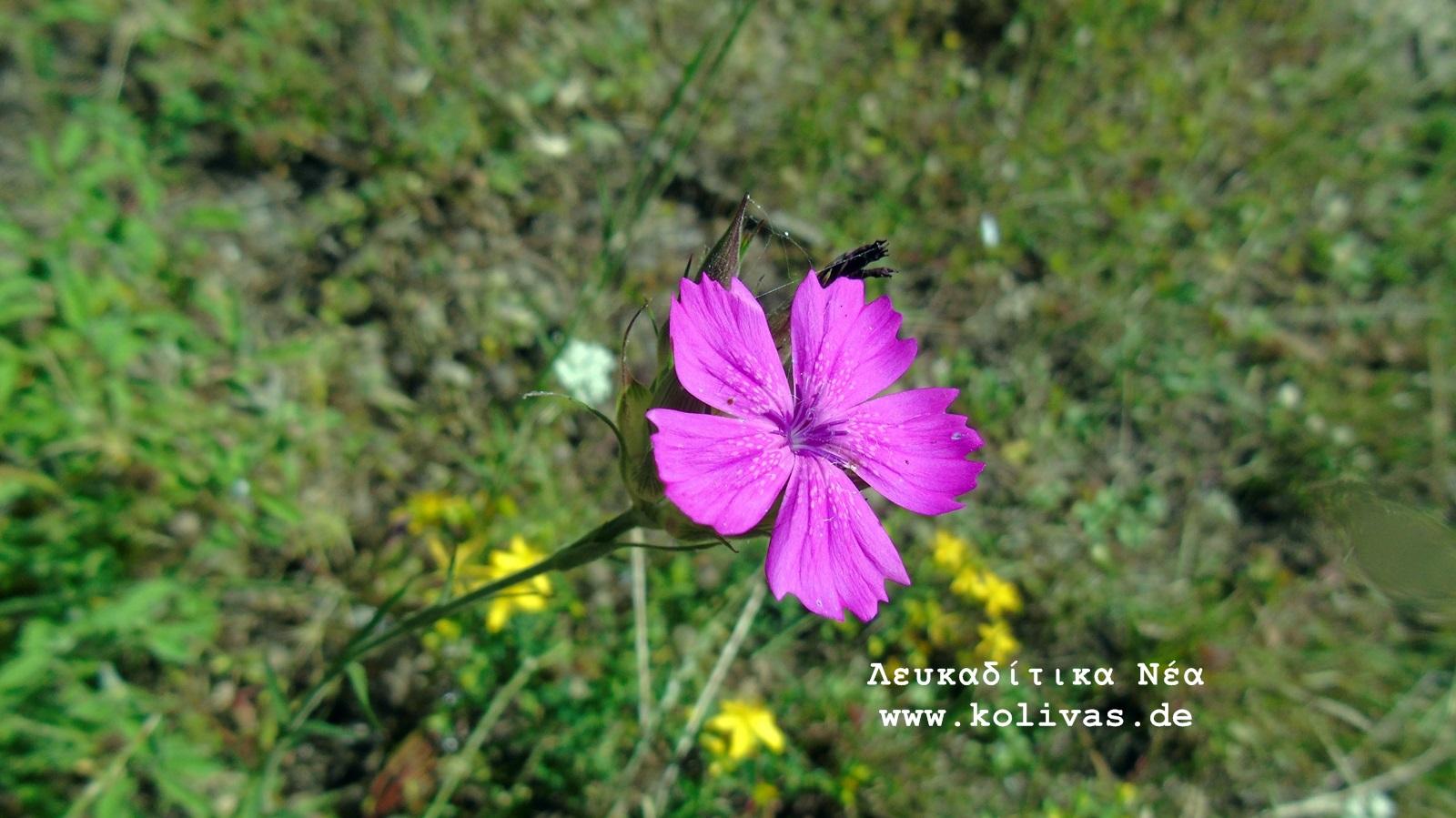 8_Dianthus deltoides