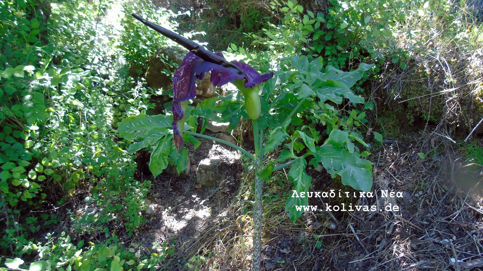 8_Dracunculus vulgaris