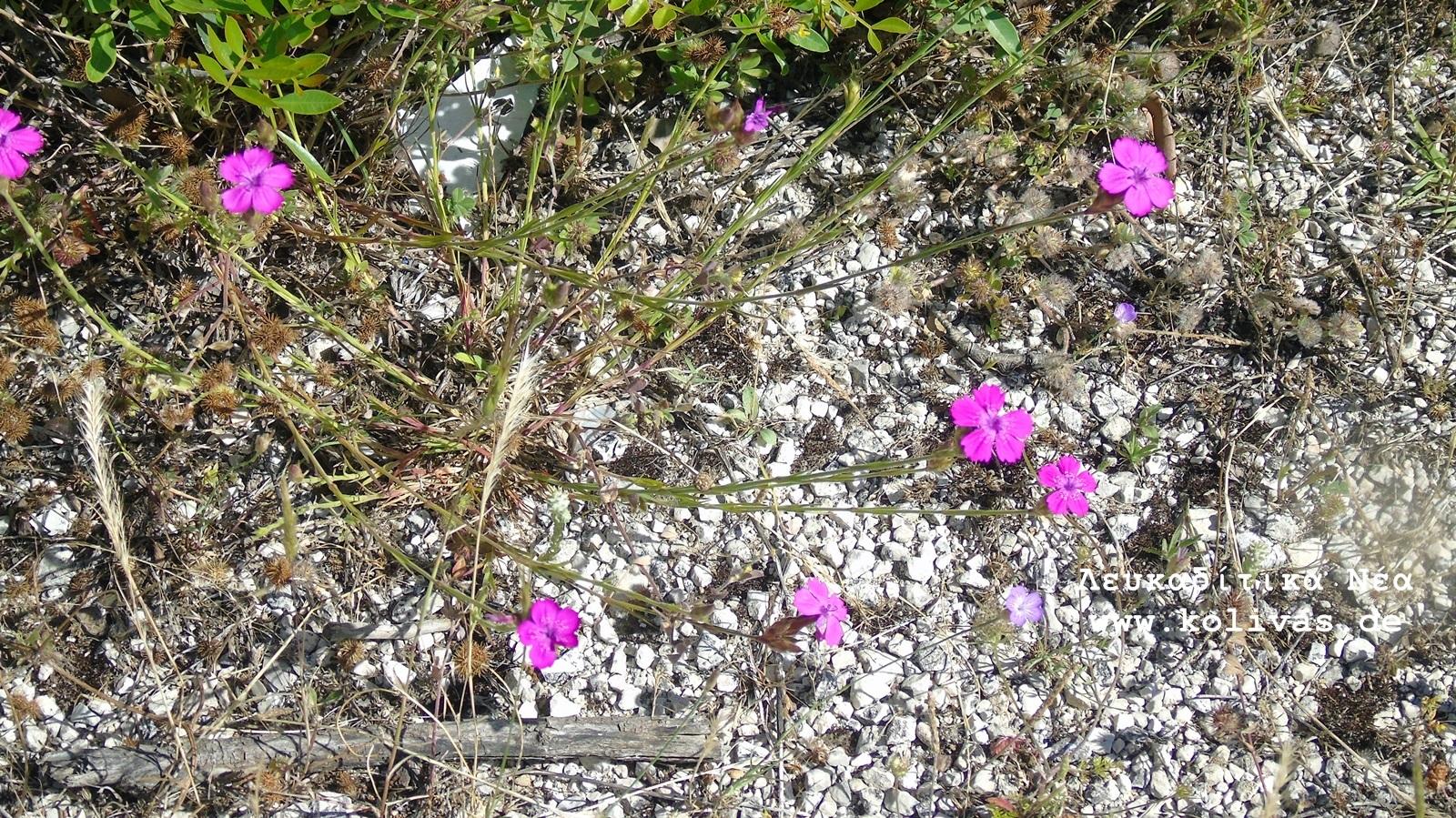 9_Dianthus deltoides
