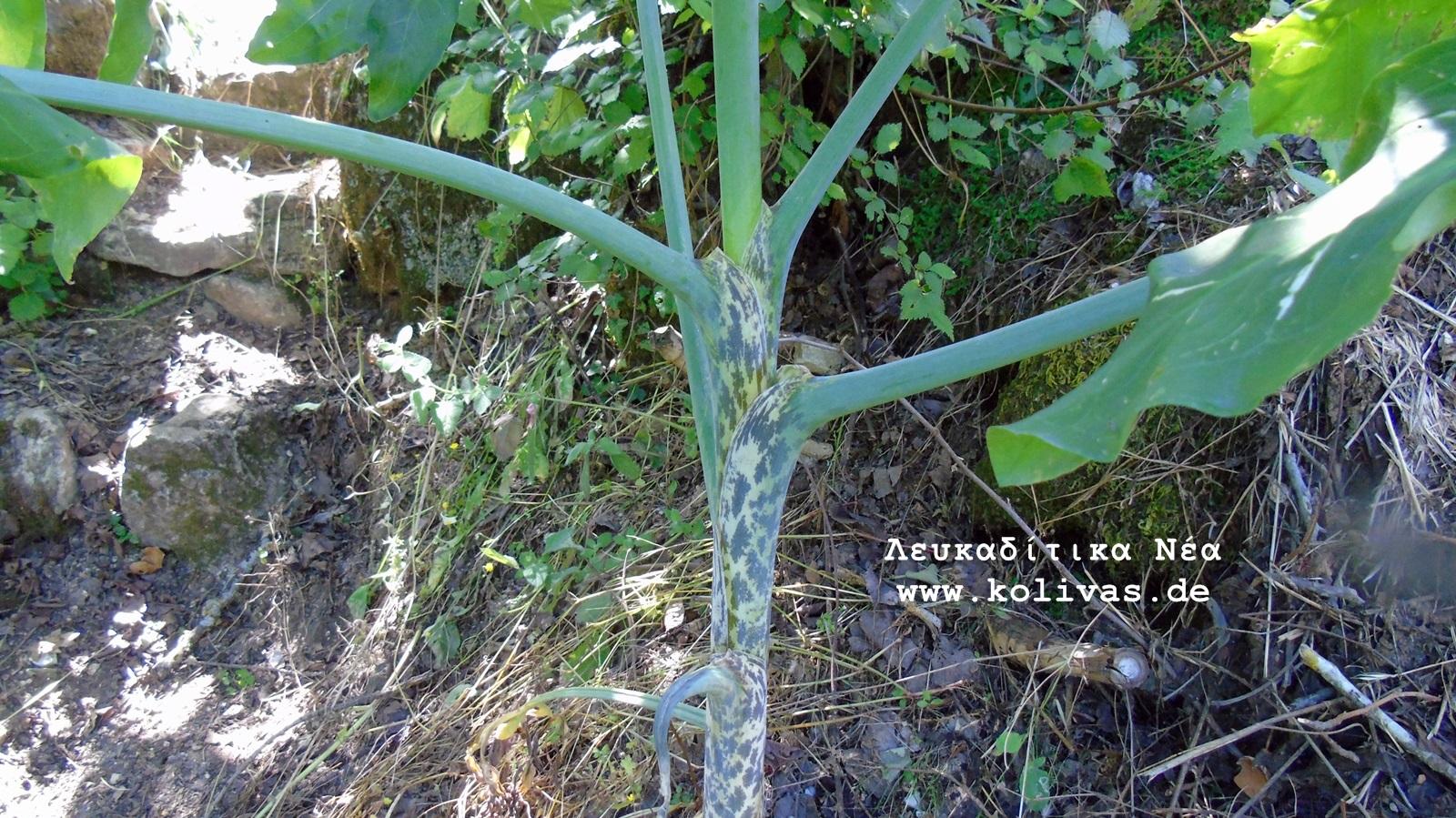 9_Dracunculus vulgaris