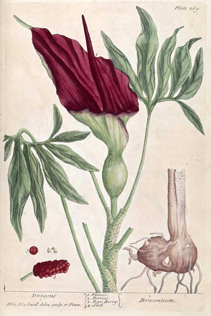 Dracunculus-vulgaris