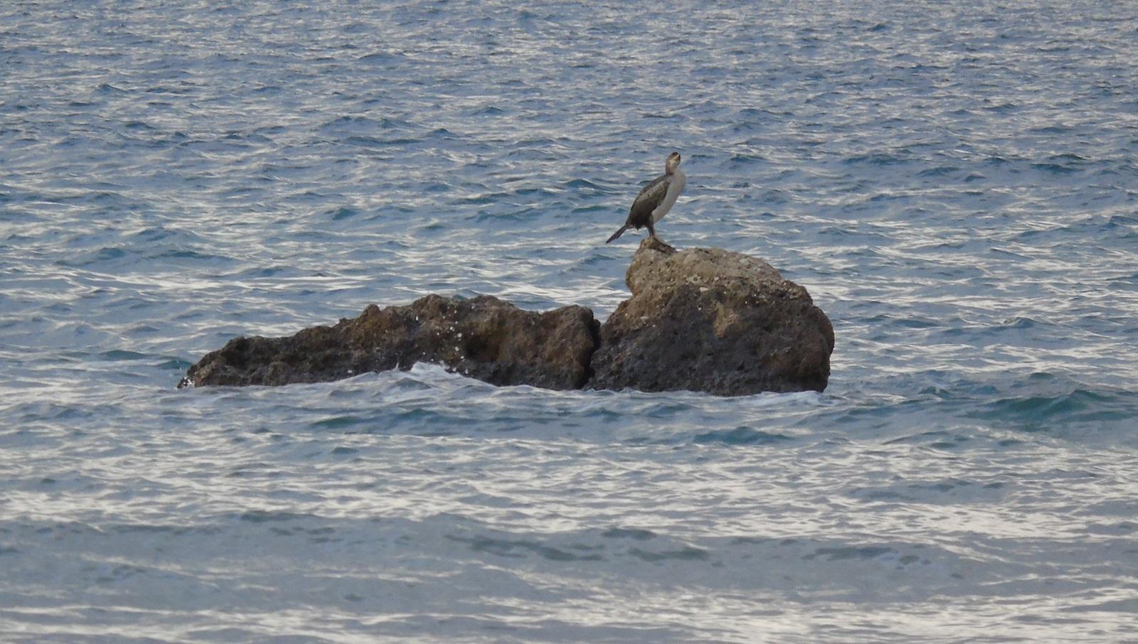 1_kormoranos