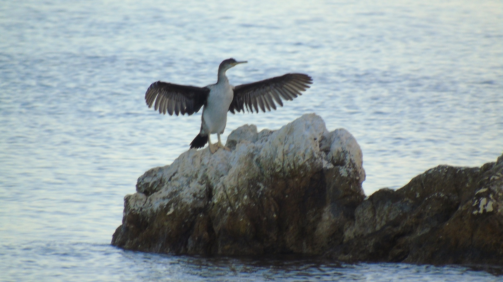 4_kormoranos