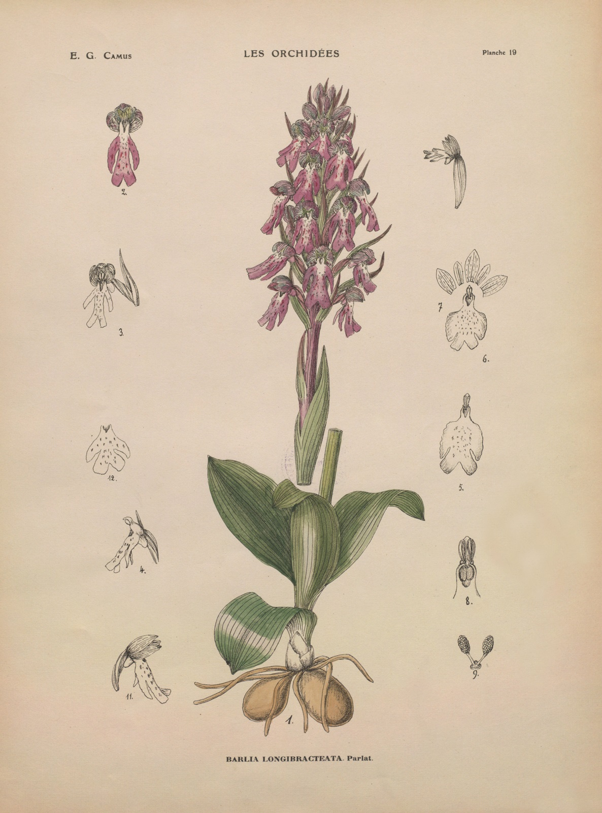 10_Himantoglossum robertianum