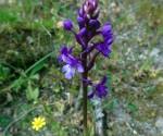 1_Orchis quadripunctata