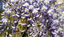1_Wisteria sinensis
