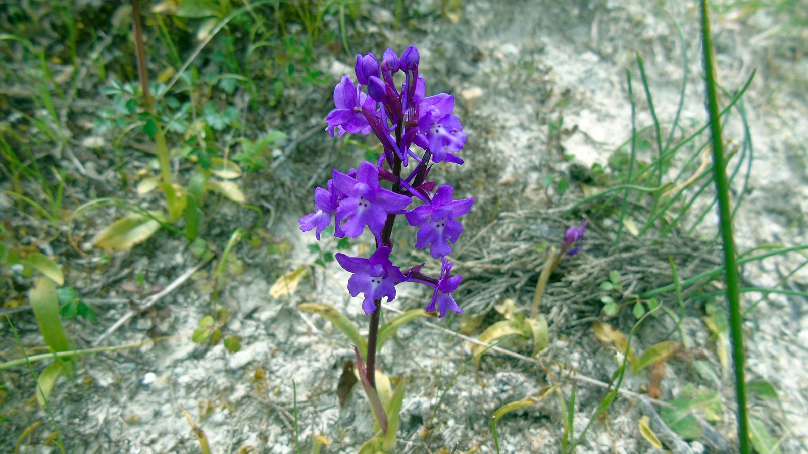2_Orchis quadripunctata