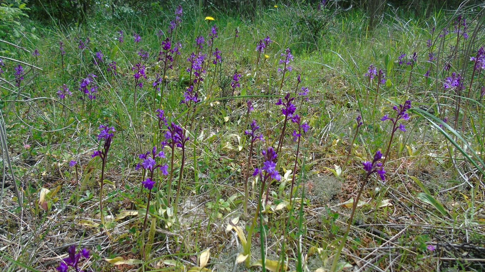 3_Orchis quadripunctata