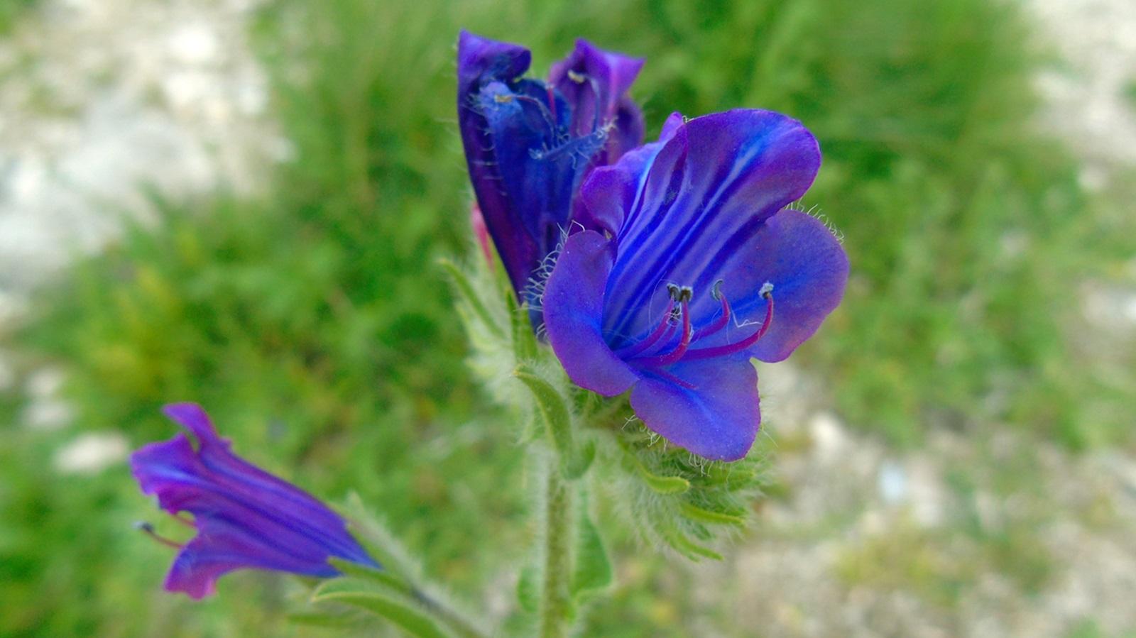 8_Echium plantagineum