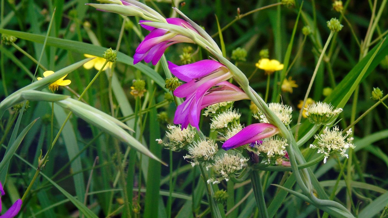1 gladiolus