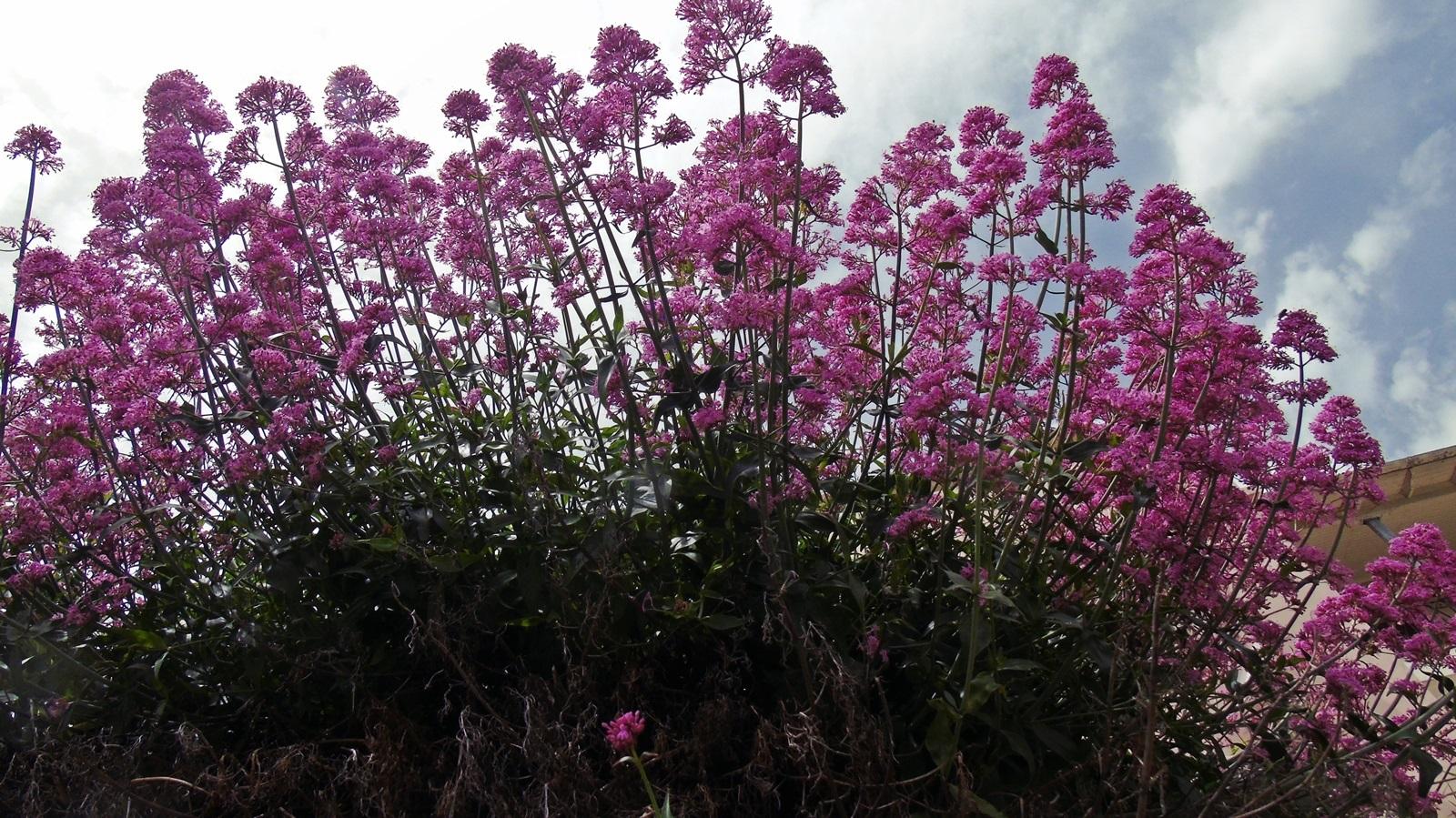 1_2_Centranthus ruber