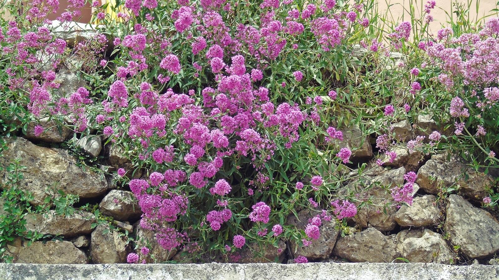 1_Centranthus ruber
