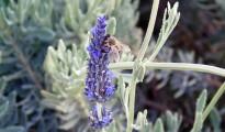2_Lavandula angustifolia