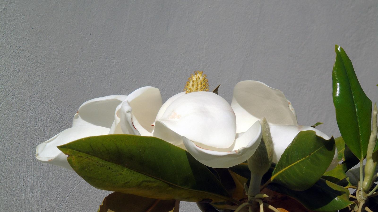 3_Magnolia