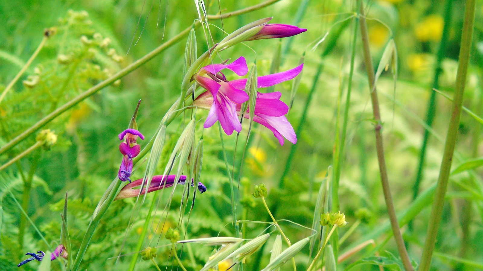 4 gladiolus