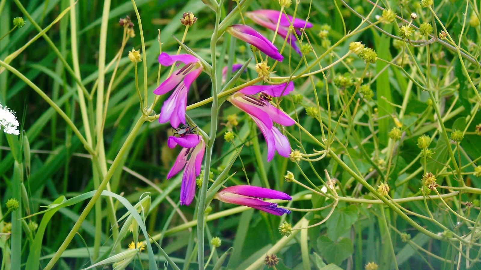 5 gladiolus