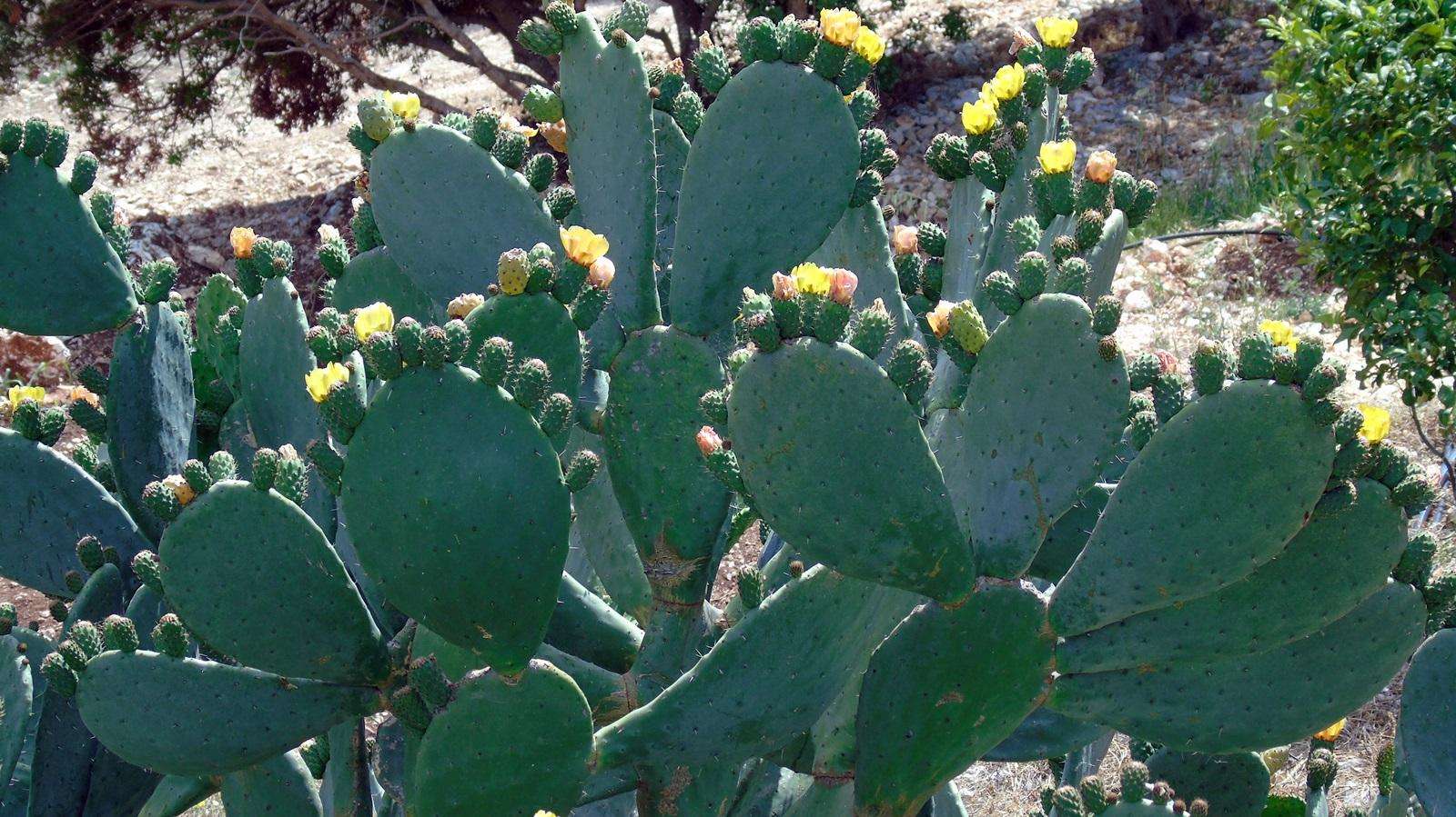 1_Opuntia ficus indica